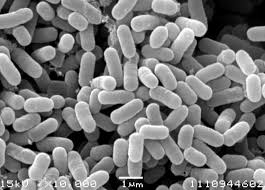 効果なし乳酸菌の顕微鏡