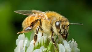 効果なしのプロポリスを作るミツバチ